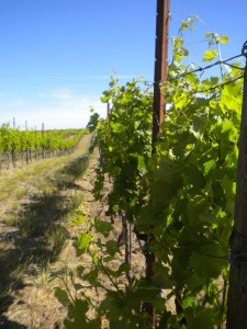 Woodward Canyon Vines