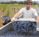 harvest grapes